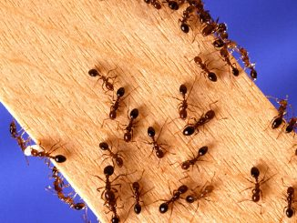 Red imported fire ants. Source: US Dept of Agriculture