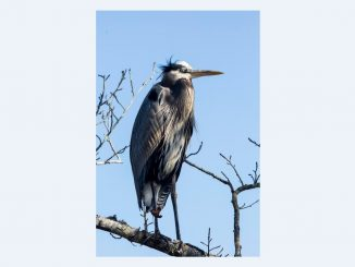 At Pocosin Lakes National Wildlife Refuge, a Great Blue Heron surveys the area. Photo Credit: Jackie Orsulak