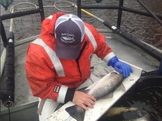 A member of the fish tagging team preparing to tag and release a fish. Source: Stephen Mehan, NC Department of Environmental Quality