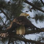 An eagle spotted at a North Carolina golf course. Source: American Wildlife Refuge, Raleigh NC