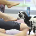 A photo from the inaugural Goat Yoga session at the Denver County Fair. Source: denvercountyfair.org