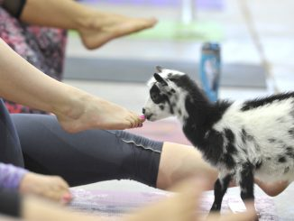 A photo from the inaugural Goat Yoga session at the Denver County Fair. Source: denvercountyfair.org
