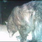 Female black bear prior to poaching case. Source: Carolina Parks and Wildlife