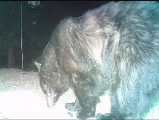 Female black bear prior to poaching case. Source: Carolina Parks and Wildlife