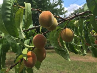Peaches on the tree, Wake County, NC. Photo: Kay Whatley (June 2018)