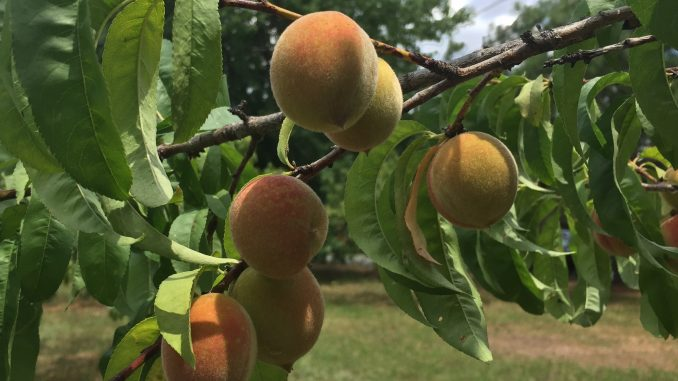 Peaches on the tree in June 2018, Wake County NC. Photo: Kay Whatley