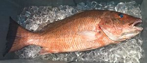 State Record Gray (Mangrove) Snapper (12 pounds 5 ounces) caught by Mark Davis off Ocean Isle Beach, North Carolina on June 14, 2018. Source: Division of Marine Fisheries NC