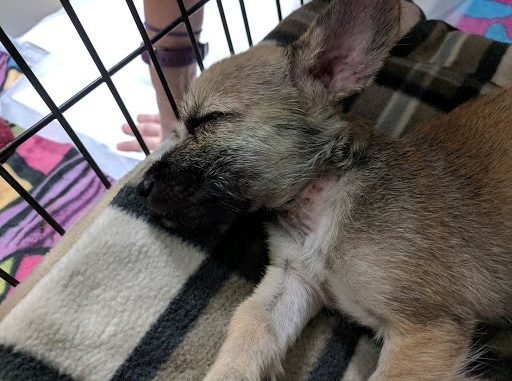 Nash the dog sleeping after his rescue and veterinary care. Source: SPCA of Wake County NC