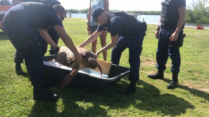 Members of Coast Guard Station Islamorada place an injured sea turtle into a container of water Tuesday, Sept. 18, 2018 to be transported to the Marathon-based Turtle Hospital. The station crew rescued the injured turtle approximately 2 miles southeast of Plantation Key. U.S. Coast Guard photo by Petty Officer 2nd Class John Brandt