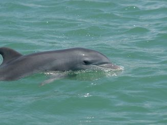 A bottlenose dolphin swims in Sarasota Bay. Credit: Photo taken by Sarasota Dolphin Research Program under National Marine Fisheries Service Scientific Research Permit No. 20455.