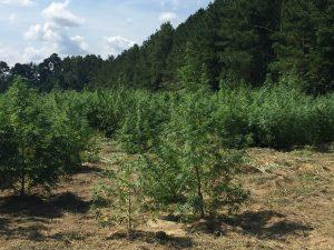 Hemp growing on a farm in Bunn NC. Photo: Kay Whatley