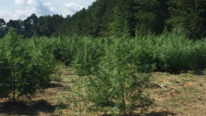 Hemp growing on a farm in Bunn NC. Photo: Kay Whatley