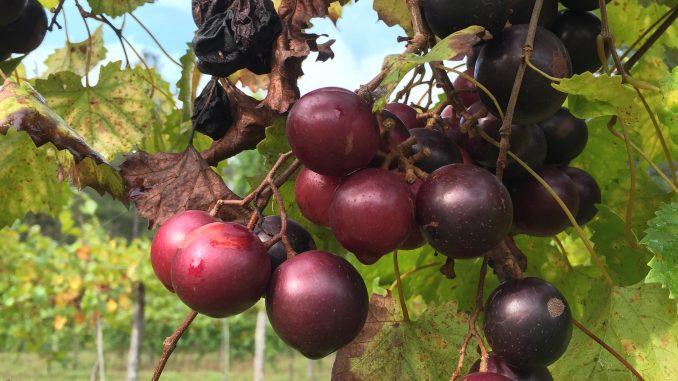 Harvest time at a Zebulon NC vineyard. Photo: Kay Whatley 2016