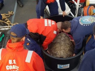 Crewmembers aboard Coast Guard Cutter Heron work together to lift a sea turtle out of its transport container offshore Cape Henry, Virginia, Nov. 18, 2018. The crew of the Heron and members of the North Carolina Aquarium on Roanoke Island worked together to release 14 rehabilitated sea turtles into warmer waters. Source: US Coast Guard Lt. j.g. Jaime Brady