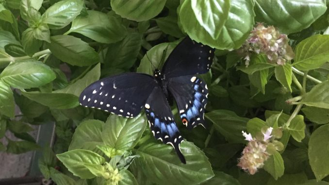 Butterfly on herb plants. Photo: Kay Whatley