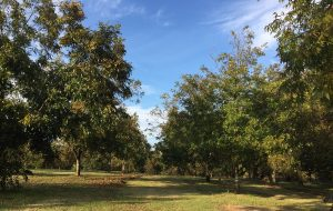 Pecan tree orchard at Lakeview Pecans in Bailey, NC. Photo: Kay Whatley