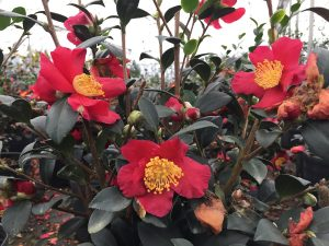Camellia in the Garden Treasures greenhouses. Photo: Kay Whatley