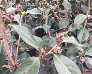 A camellia variety with woody buds, Garden Treasures greenhouse. Photo: Kay Whatley