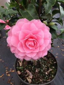 Camellia in the greenhouse; the photo does not do it justice. It's more beautiful than this image shows. Photo: Kay Whatley