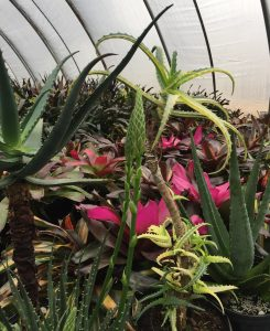 Tropical plants in the background, multiple varieties of aloe in the foreground. Photo: Kay Whatley