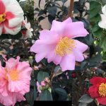 Five camellias out of the dozens of varieties available at Garden Treasures, Wendell, NC. Photos: Kay Whatley