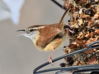 Carolina Wren by Bette Parette. Source: Audubon Great Backyard Bird Count