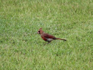 Eastern North Carolina is home to many birds, including cardinals. Photo: Frank Whatley