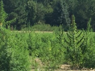 Hemp growing on a farm in Bunn, NC (Franklin County). Photo: Kay Whatley