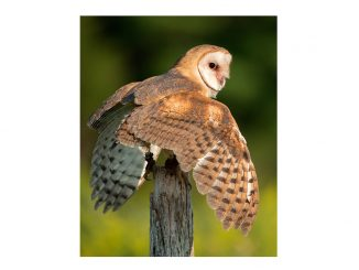 Barn owl. Source: NC Wildlife. Credit Peter K. Burian