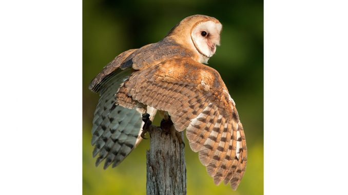 Barn owl. Source: NC Wildlife. Credit Peter K. Burian