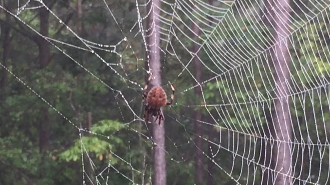 Orb-weaver spider on its web. Source: Kay Whatley.