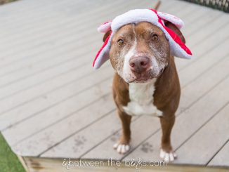 Pup in holiday hat. Source: SPCA of Wake County