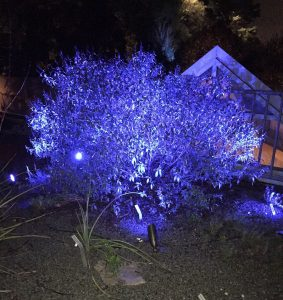 Tree in blue light at JC Raulston Arboretum. Photo: Kay Whatley