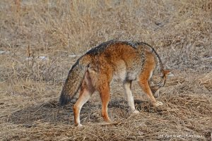 Coyote rescued from Iowa roadside zoo shown in The Wild Animal Sanctuary on Dec. 19, 2019. Source: Kent Drotar, The Wild Animal Sanctuary