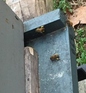Bees entering a 5CBA beehive with pollen on their legs. Photo: Kay Whatley