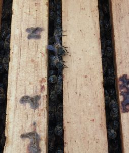 5CBA beehive open with bees between the frames. Photo: Kay Whatley
