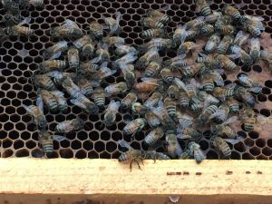 Brood frame with bees, fat queen in the center. Photo: Kay Whatley