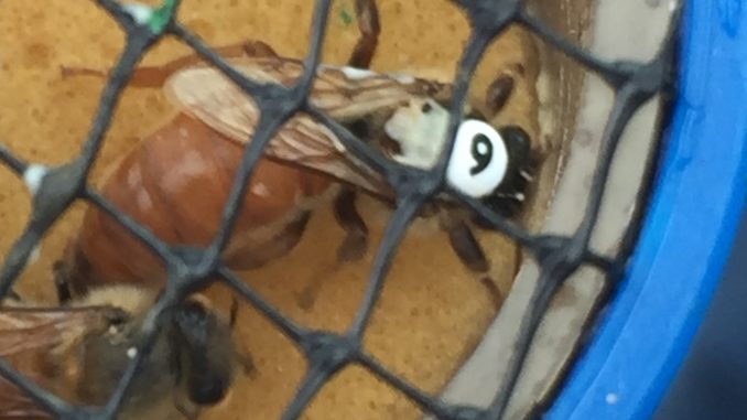 A 5CBA queen bee with newly affixed ID number. Second bee next to her in the container used to isolate her for numbering. Photo: Kay Whatley