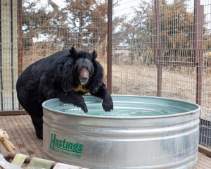 Dillan enjoying some fresh water upon arrival at The Wild Animal Sanctuary veterinary clinic. Source: The Wild Animal Sanctuary