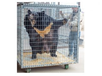 Morbidly obese Asiatic Black Bear, Dillan, being moved into The Wild Animal Sanctuary veterinary clinic for medical evaluation and treatment. Source: The Wild Animal Sanctuary
