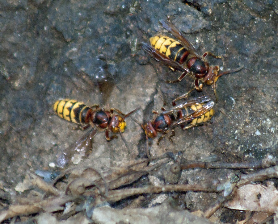 Close-up of European Hornets taken in NC. Photo: Donna Campbell Smith