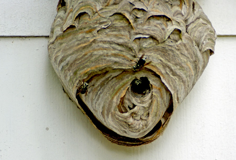 European Hornets' nest attached to a house. Photo: Donna Campbell Smith