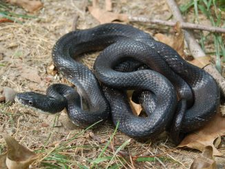 A common snake to see in the backyard is a rat snake, which is non-venomous and harmless to humans. Photo: Jodie Owen, North Carolina Wildlife Resources Commission