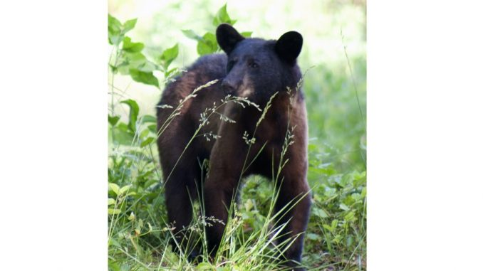 Young bear in the Pungo Unit Of Pocosin Lakes National Wildlife Refuge in North Carolina. Photo: Donna Campbell Smith