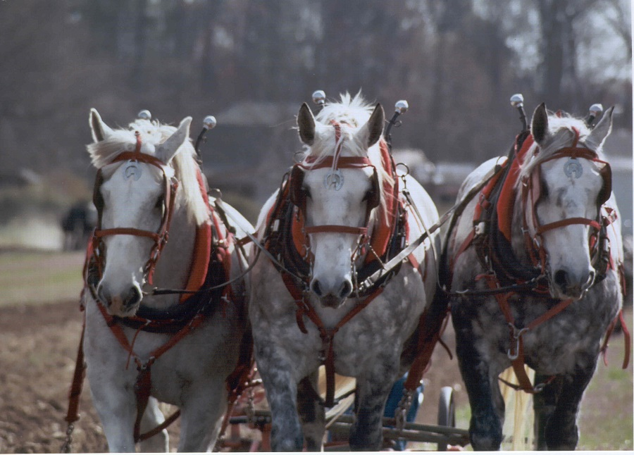 Draft horse team at a Plow Day event. Source: Donna Campbell Smith