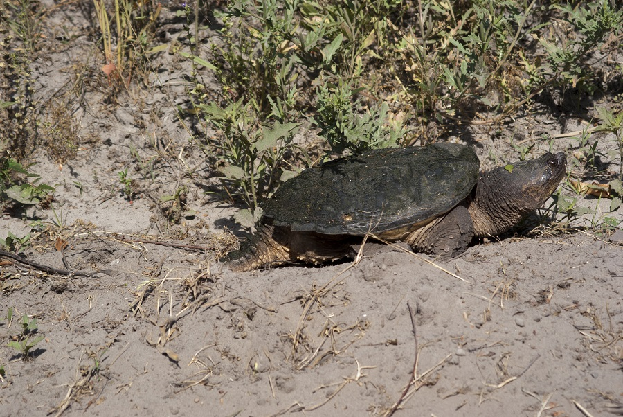 Snapping turtle photo taken in the Pungo Unit Of Pocosin Lakes National Wildlife Refuge in North Carolina. Photo: Donna Campbell Smith