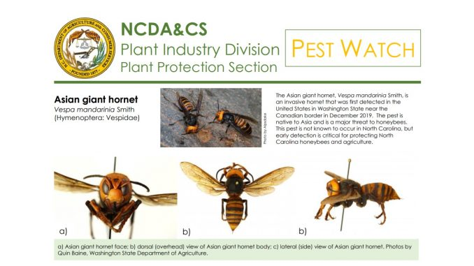 Asian Giant Hornet pest alert. Source: NC Dept of Agriculture & Consumer Services
