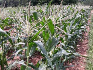 Eastern North Carolina corn field. Source:Chatesha R. Dickens,Halifax County Schools