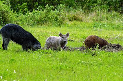 Feral swine (wild boars) are an invasive species in NC. Source: Jodie Owen, NC Wildlife. Photo: NASA