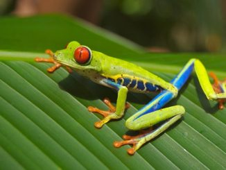 New research finds the global collapse of frogs and other amphibians exacerbated malaria outbreaks in Costa Rica and Panama during the 1990s and 2000s. Photo: David Mark, Pixabay.
